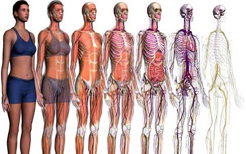 آناتومی وفیزیولوژی بدن زن و مرد